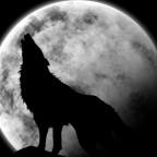 Tous ces loups solitaires